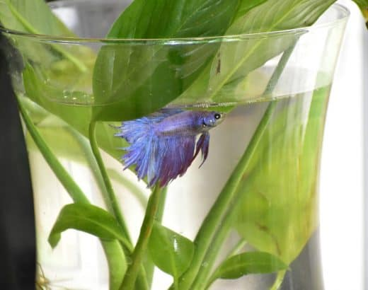 Can Betta Fish Live in a Bowl Without a Filter