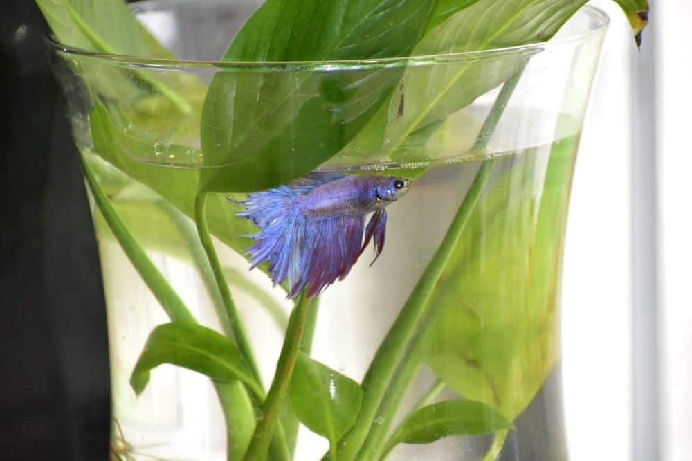 betta fish bowl size