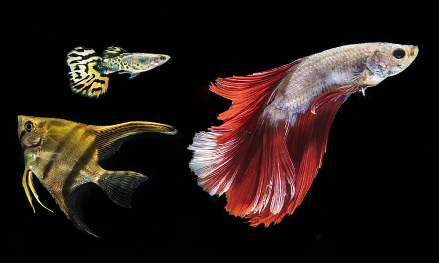 Can Male Betta Fish Live with Other Fish?