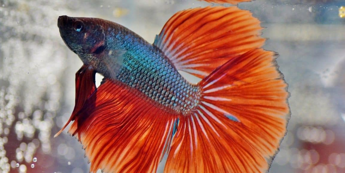How often should you change bettafish water