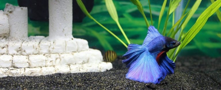 Fish you can put with a betta