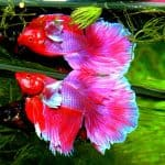 Can 2 Female Betta Fish Live Together?