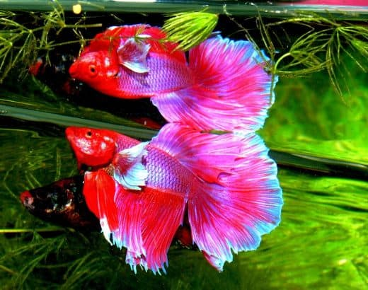 Can 2 female betta fish live together