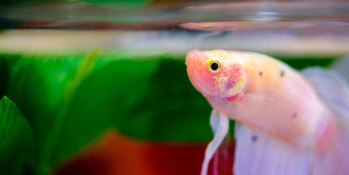What Is The Best Betta Fish Tank Available