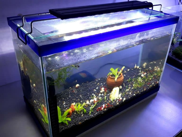 Do betta fish need a lid on their tank