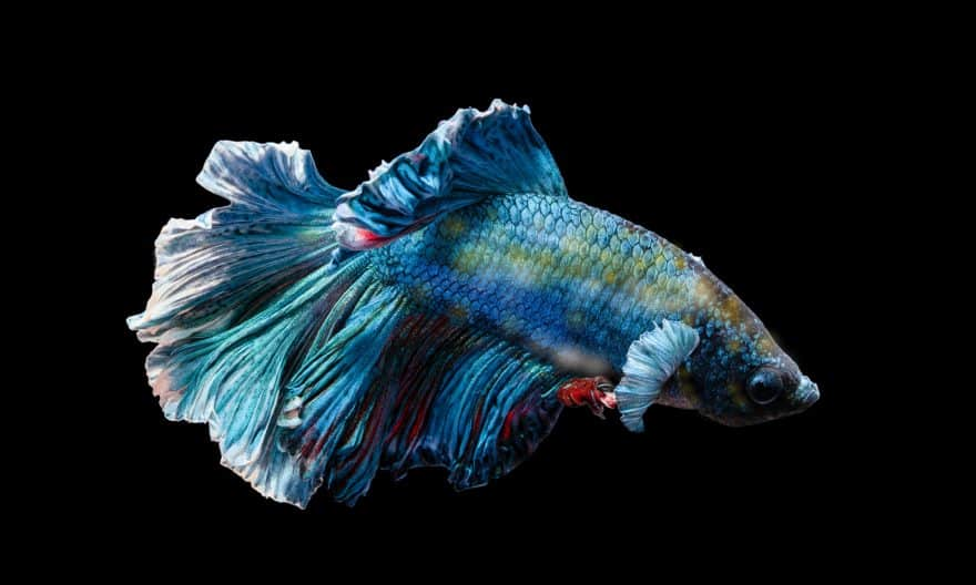 Betta Fish With Velvet