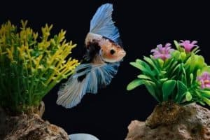 Are Live Plants Good for Betta Fish?