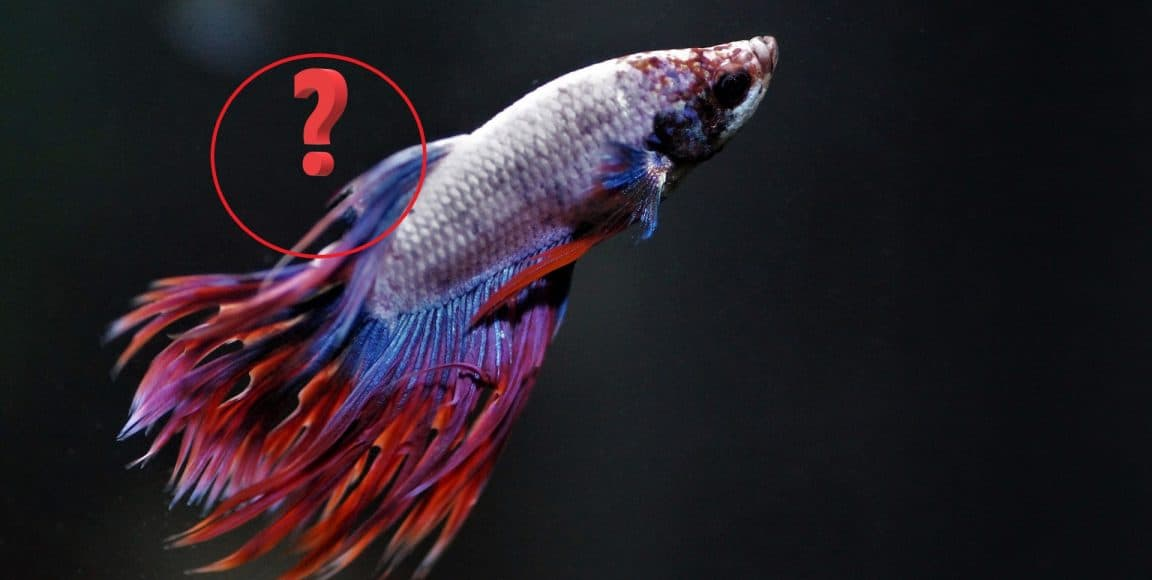 Betta Fungal Infection