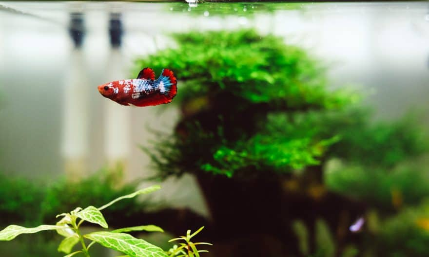 Best Live Plants For Betta Fish