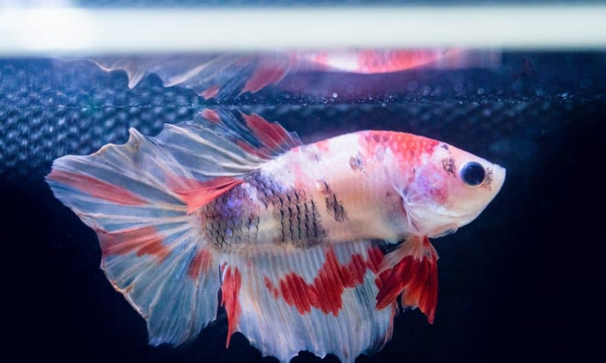How Long Can Betta Fish Go Without Food