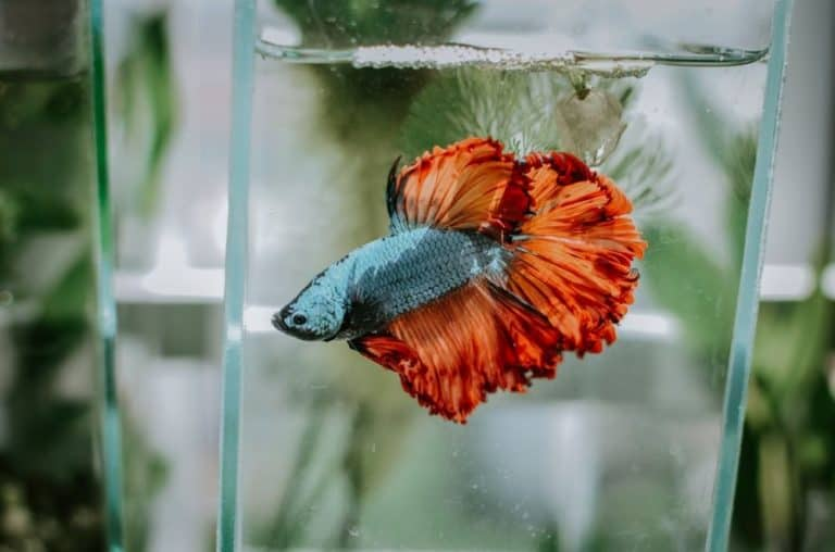 Betta Fish Swim Bladder Disease