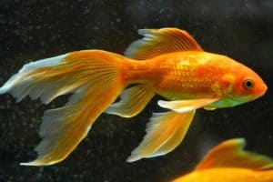 Can You Put A Betta Fish With A Goldfish