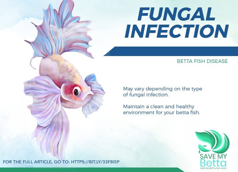 betta fish diseases and symptoms - fungal infection
