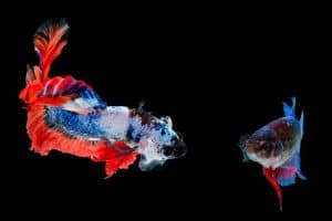 How To Know If Betta Fish Is Male Or Female