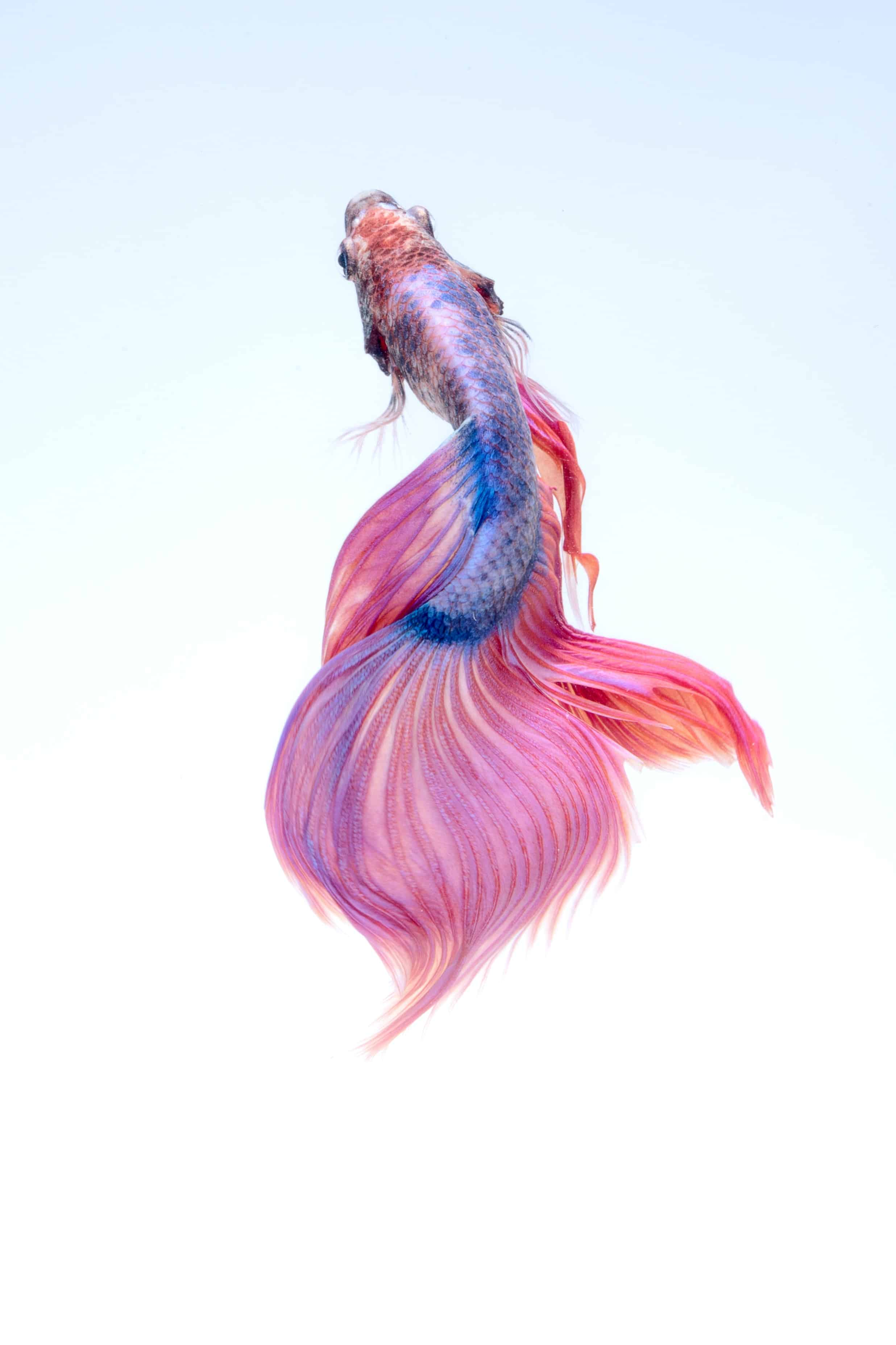 How to Prolong Betta Fish Life