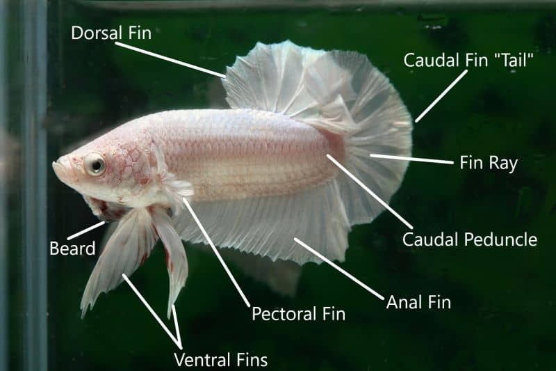 another picture of the betta fish parts