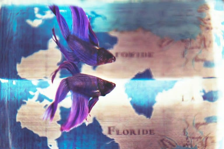 What Is The Lifespan Of A Betta Fish