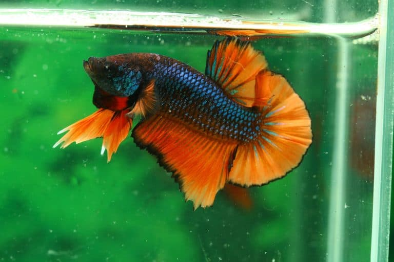 Best Betta Dropsy Treatment