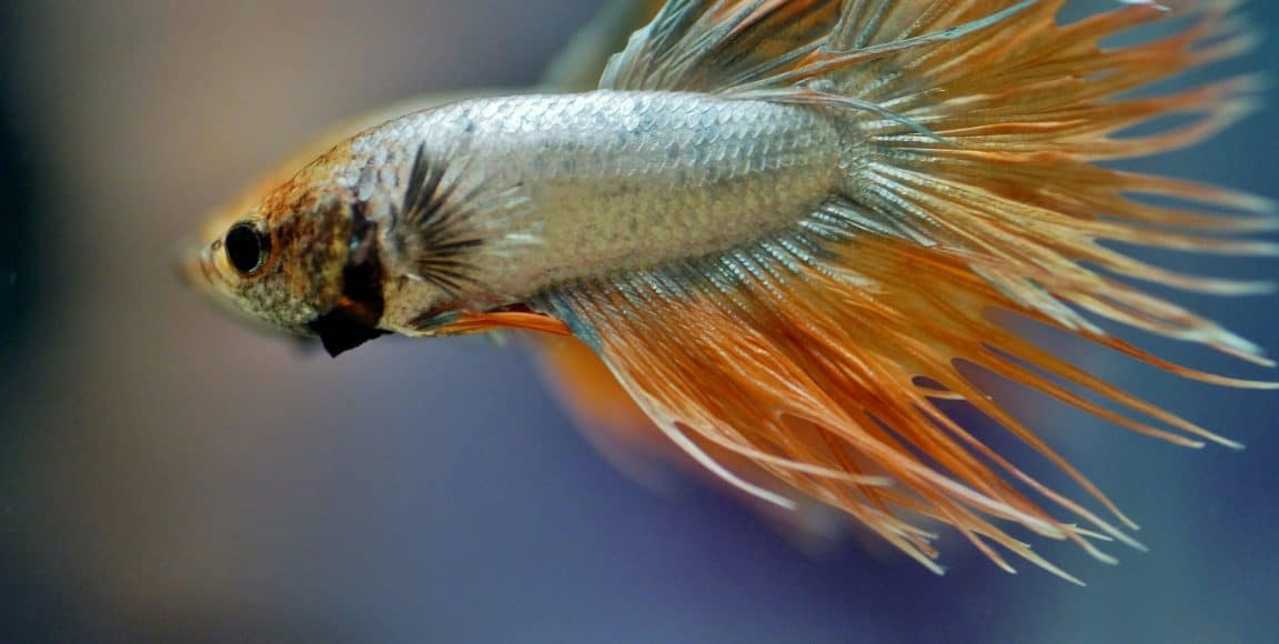Betta Bacterial Infection