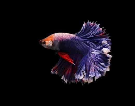 how do you know a betta fish is happy