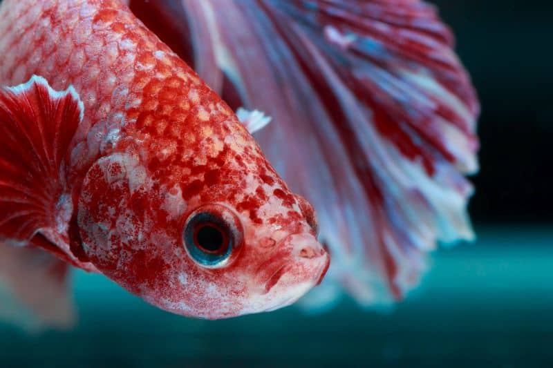 signs of depression in betta fish