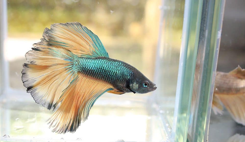 What Does a Healthy Betta Fish Look Like