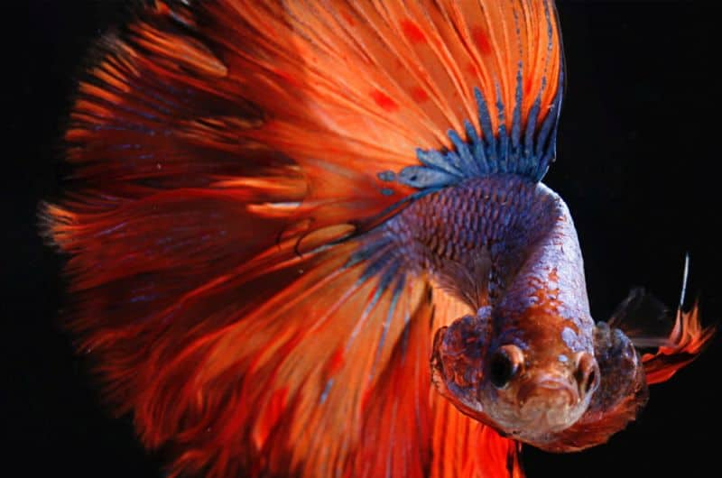 Why is betta fish acclimation important