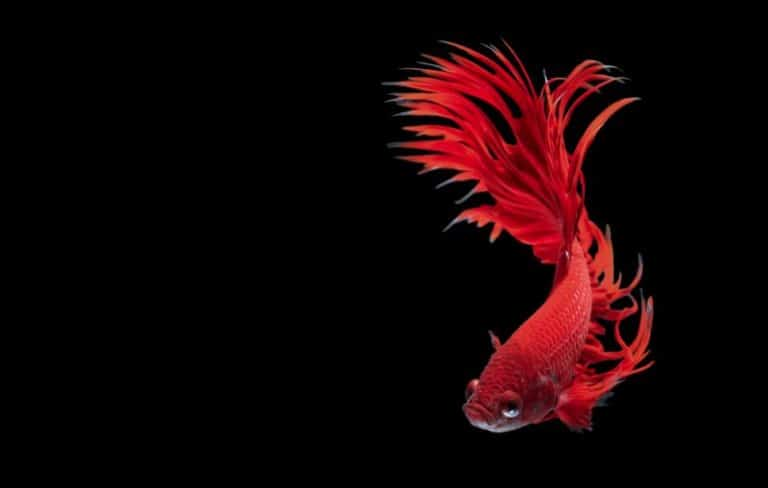can betta fish see in the dark