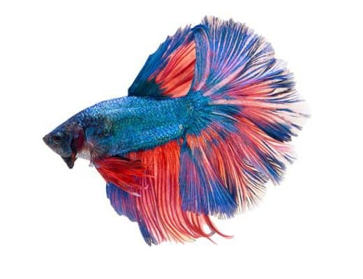 How to Feed Betta Fish When on Vacation?