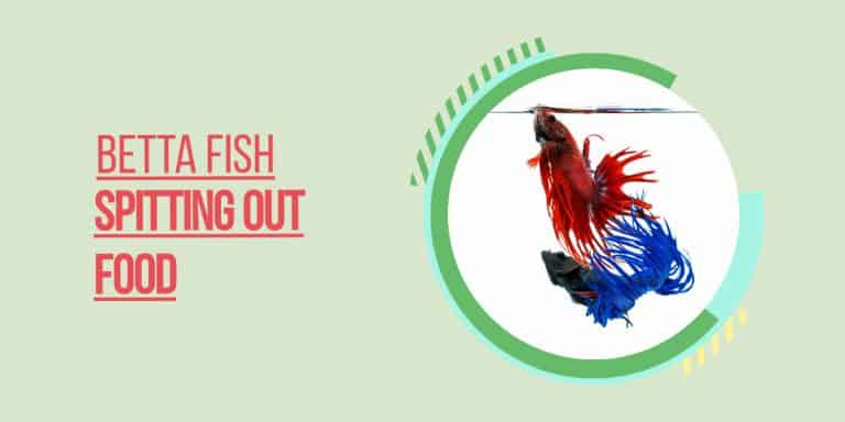 betta fish spitting out food