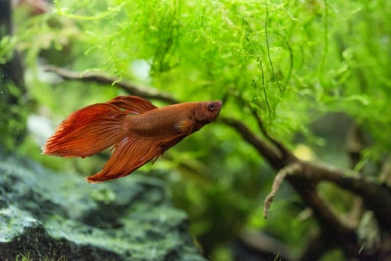 How Much to Feed a Betta Fish